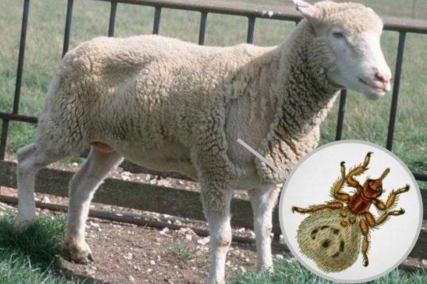 Мелофагоз у овцы