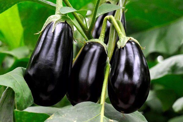 Сорт баклажан Черный красавец