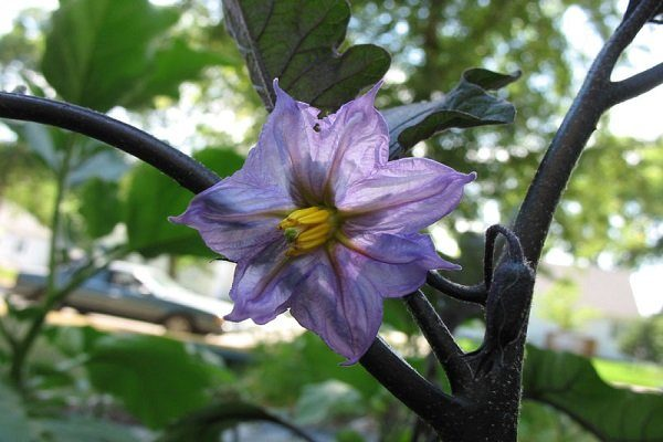 Цветение баклажанов