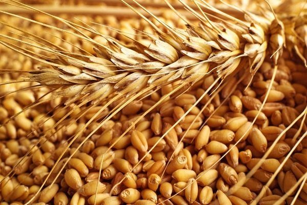 Фуражная пшеница