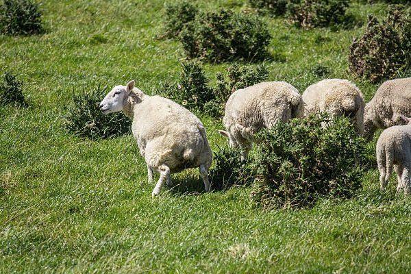 Частое мочеиспускание у овцы