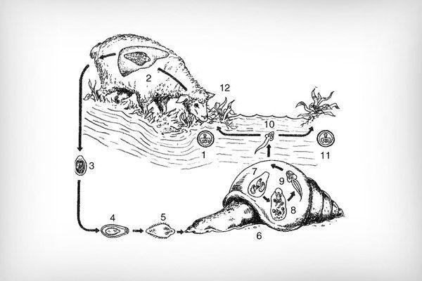 Жизненный цикл фасциола