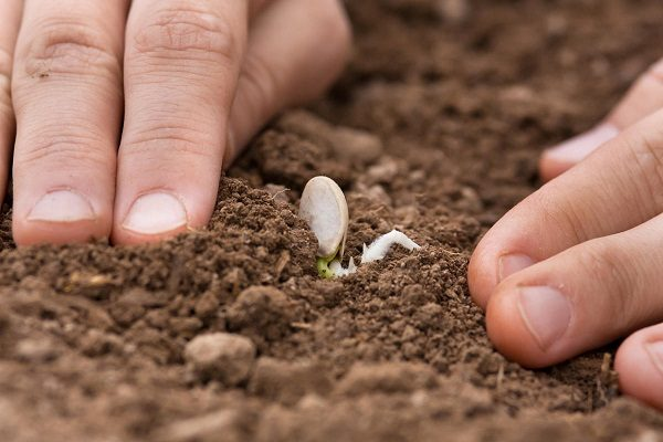 Посев тыквы