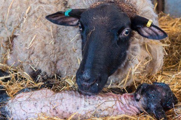 Овца после окота