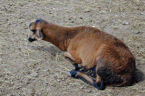 Больная энтеротоксемией овца