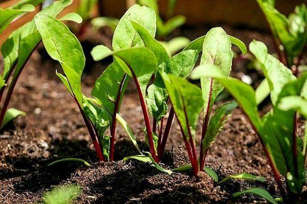Выращивание свёклы рассадой