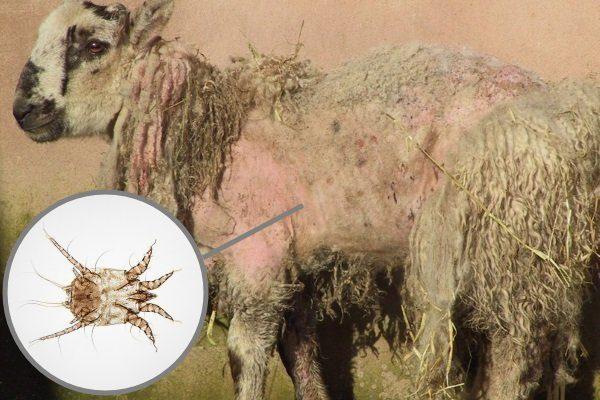 Псороптоз у овцы