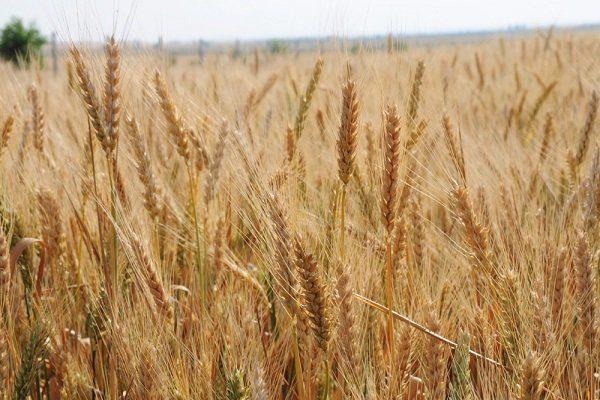 Московская пшеница
