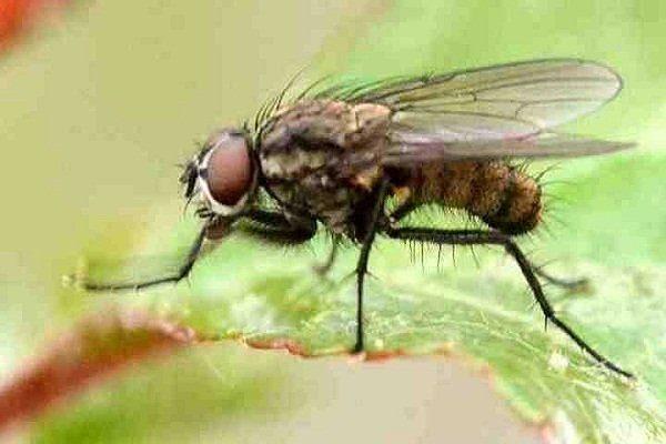 Свекловичная муха
