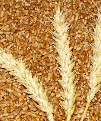 Различия и сходства твердой и мягкой пшеницы