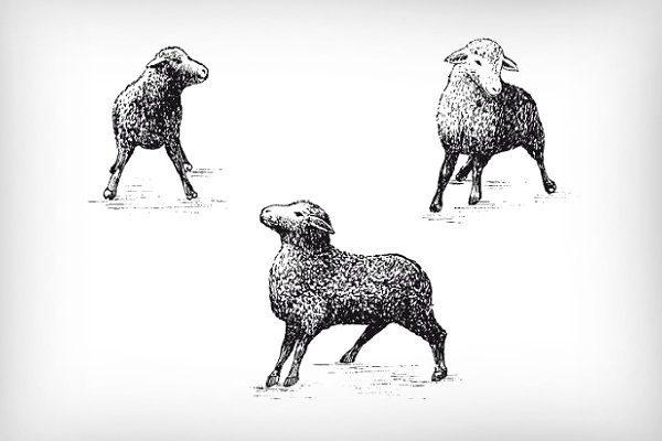 Поведение овцы, больной ценурозом