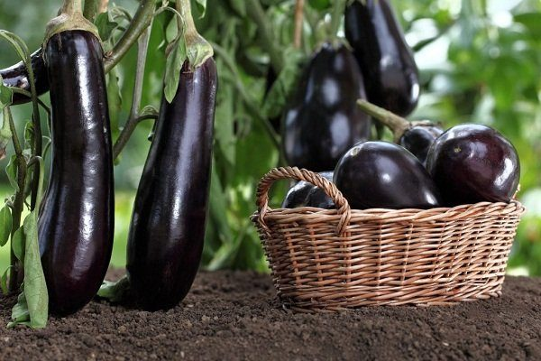 Урожай баклажанов