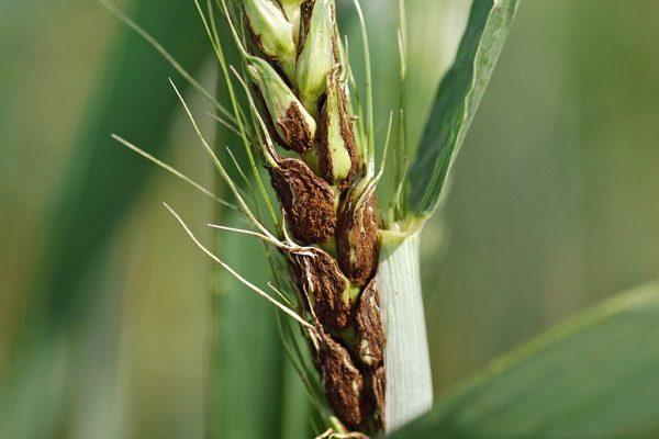 Заболевания пшеницы