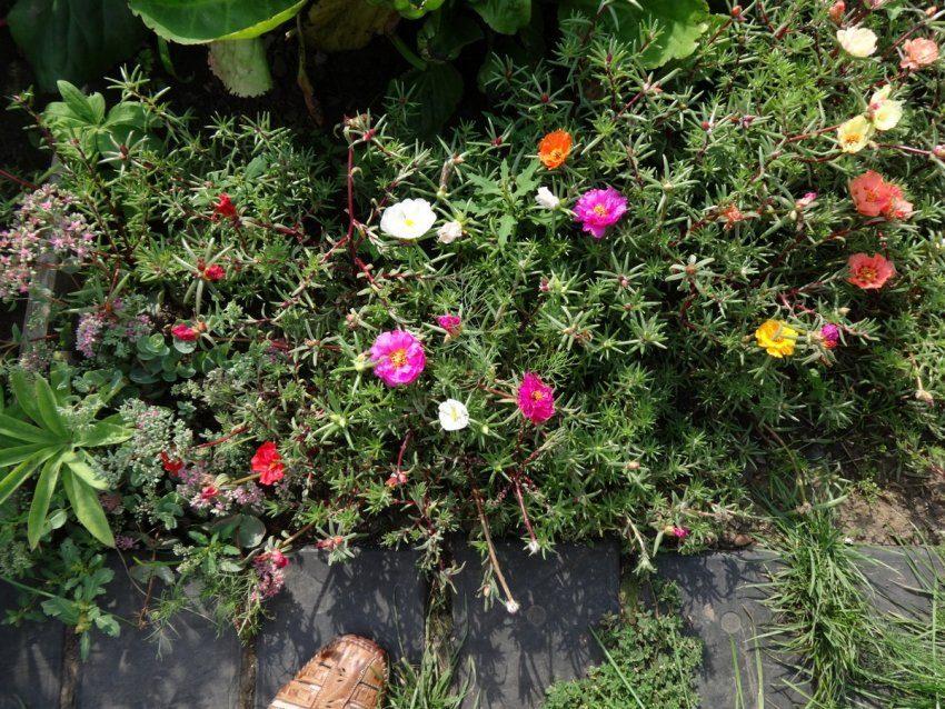 Портулак - цветок с шёлковыми лепестками