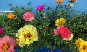 Портулак — цветок с шёлковыми лепестками