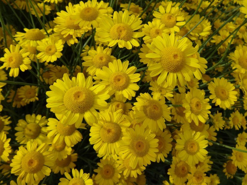 Пупавка - солнечный цветок