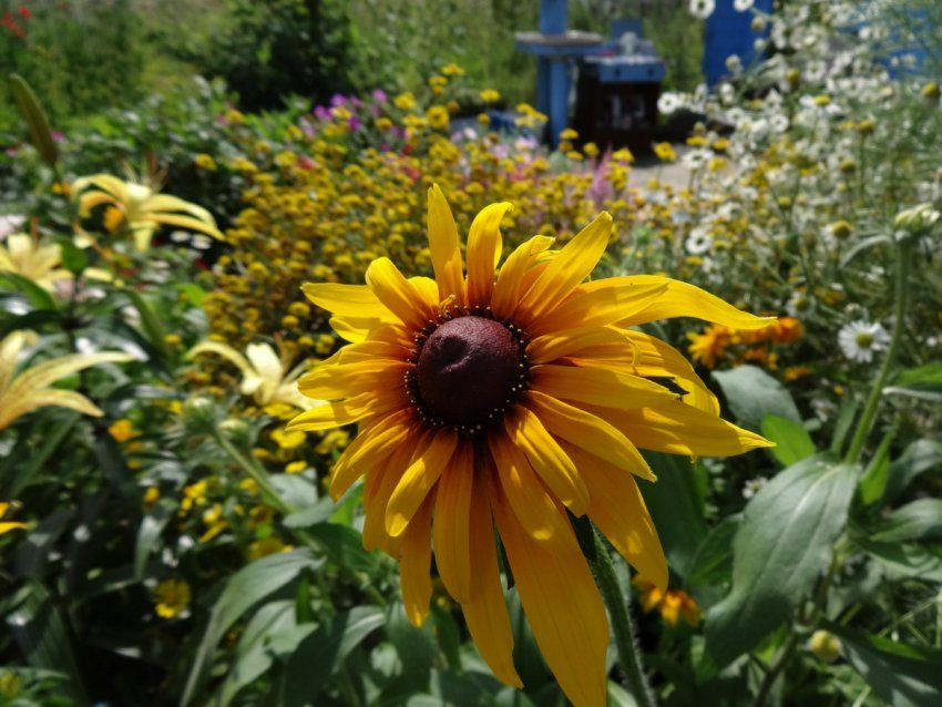Рудбекия - мой любимый цветок