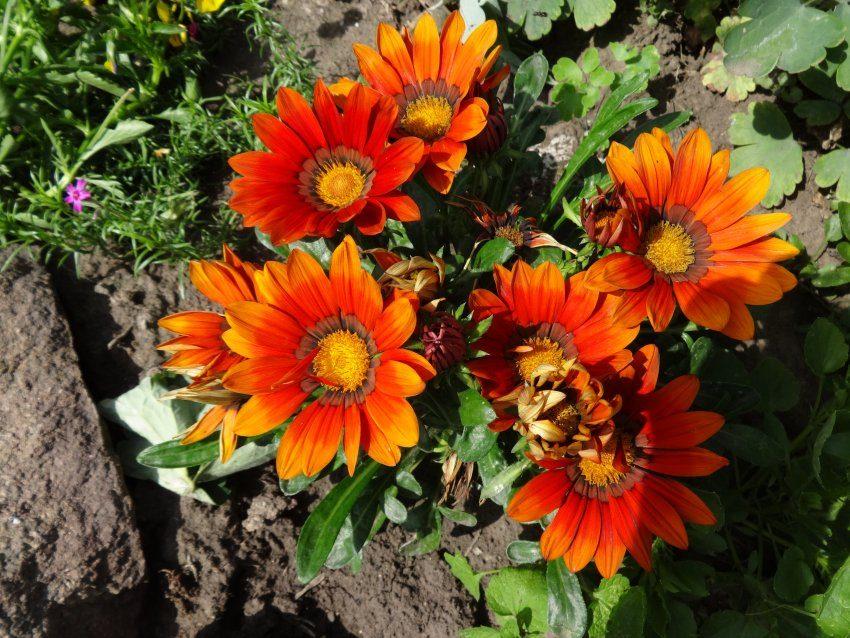 Чудесные цветы гацании