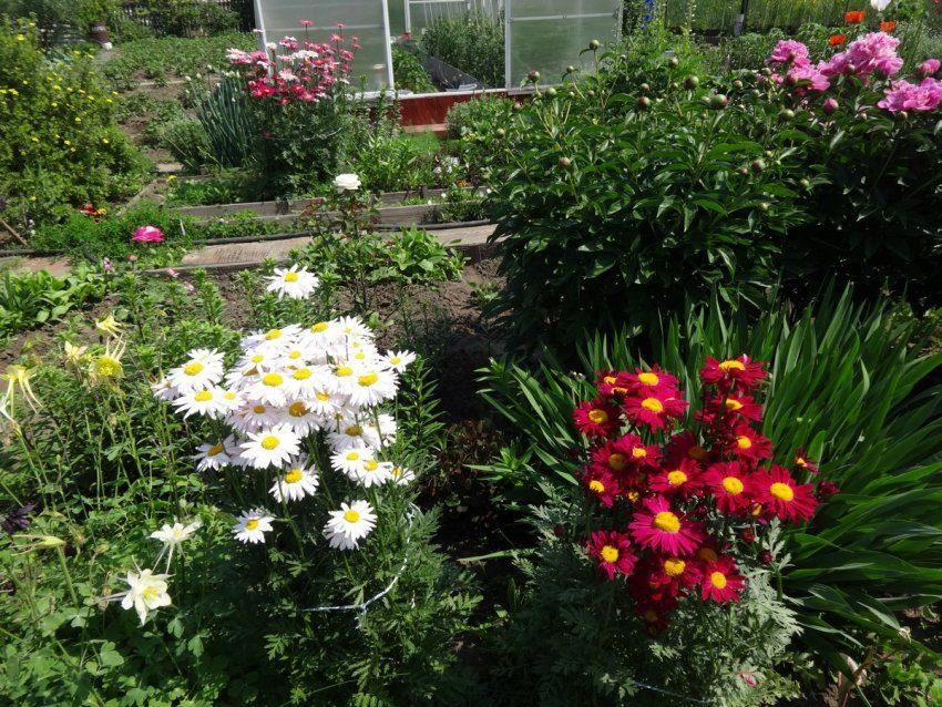 Пиретрум - персидская ромашка с красными цветами