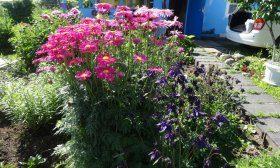 Пиретрум — персидская ромашка с красными цветами