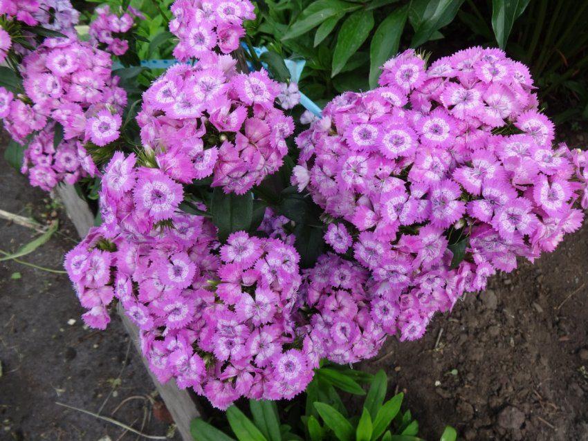 Гвоздика – божественный цветок