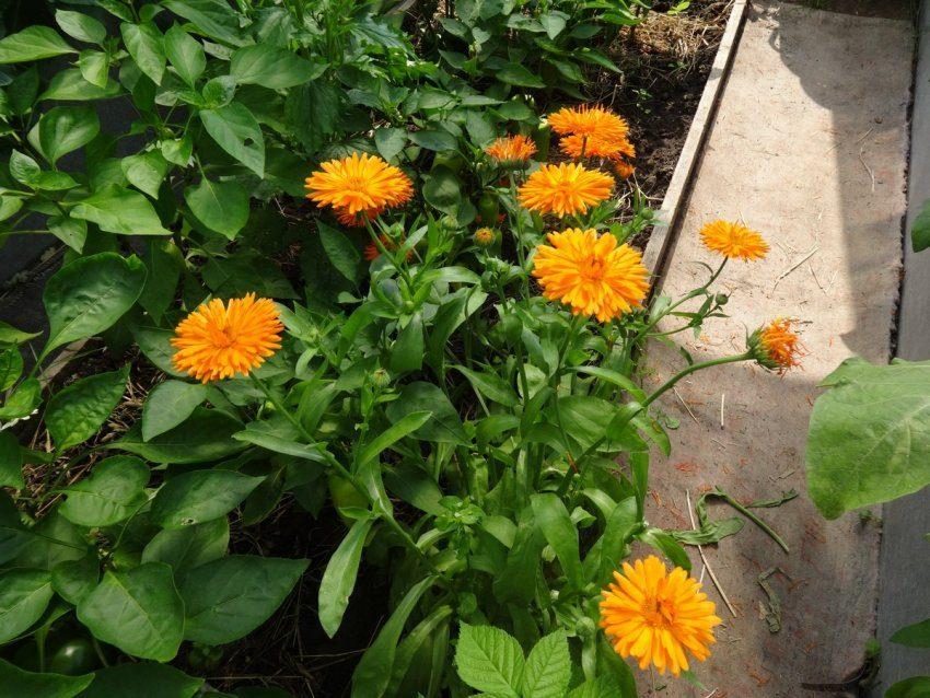 Календула-оранжевое солнышко