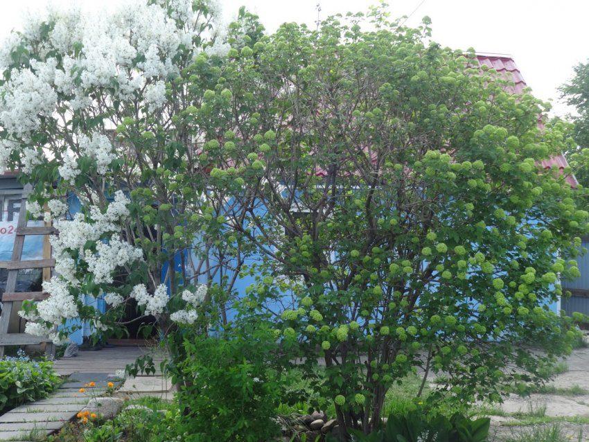 Майское цветение на даче