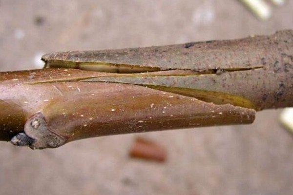 Прививка черешни копулировкой