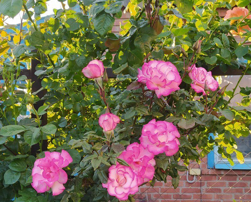 роза Хэндель