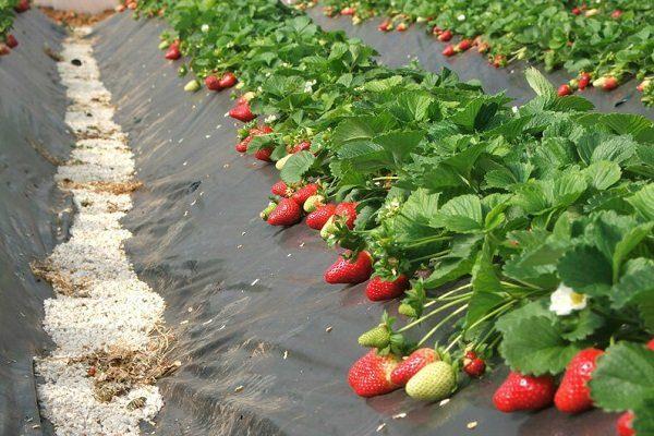 Выращивания клубники под пленкой