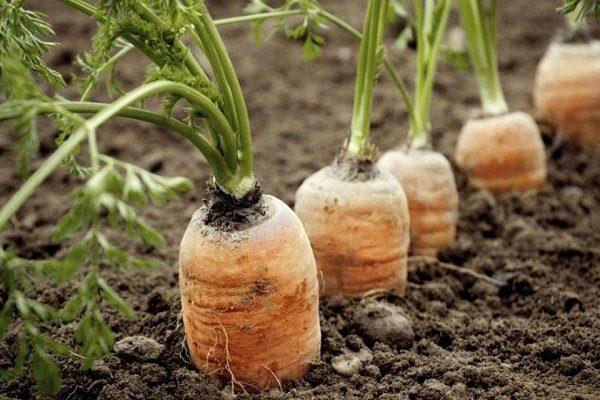 Морковь вянет на грядках