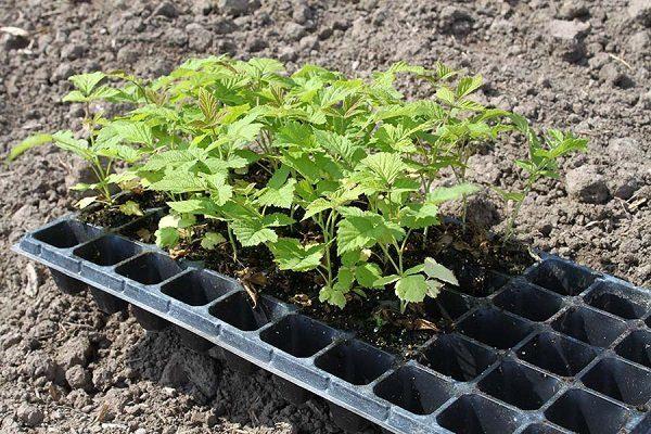 Выращивание малины из семян