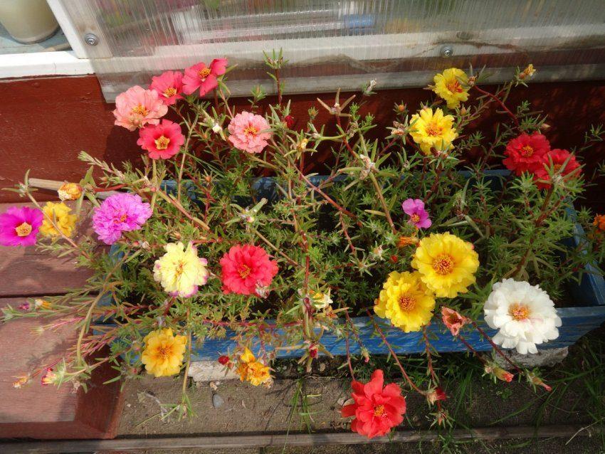 Цветы, которые растут в вазонах, ящичках и горшках