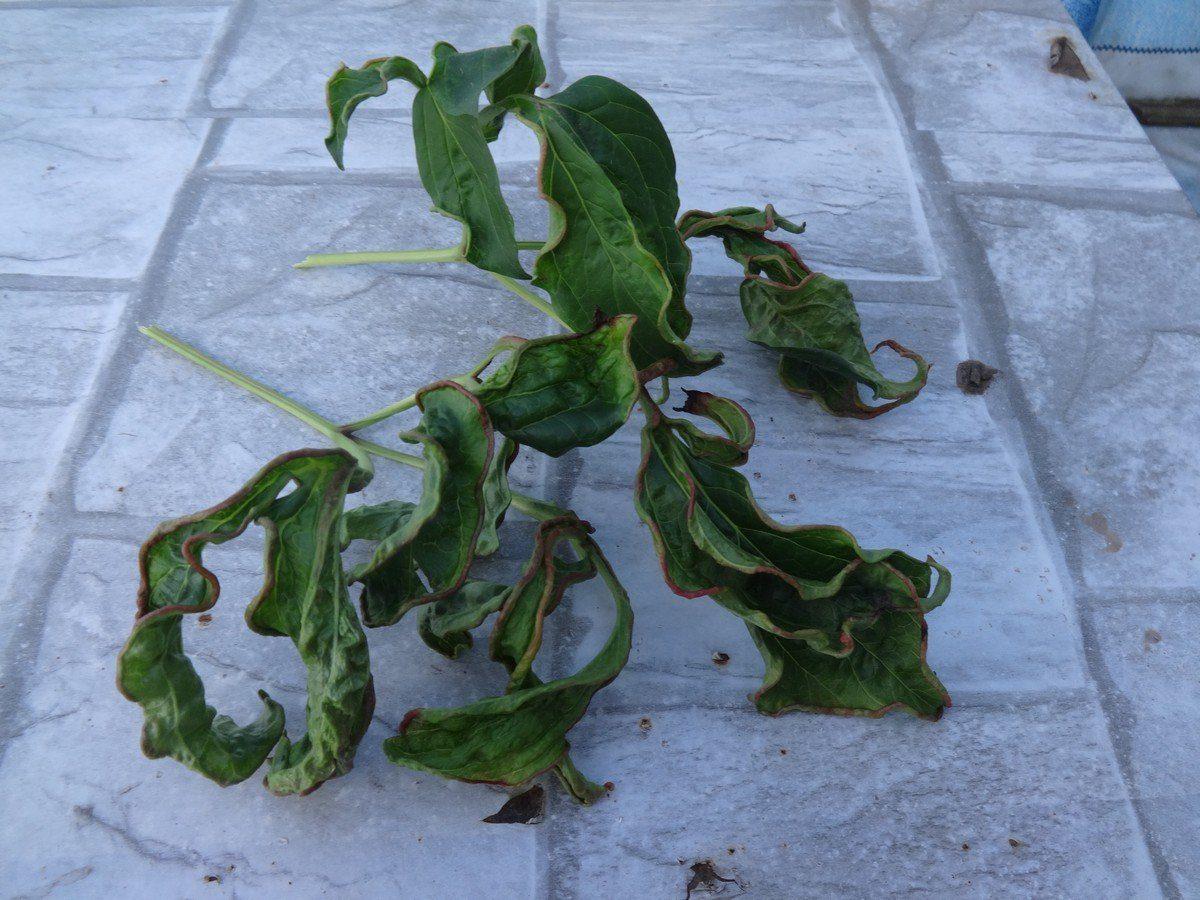 У пионов скручиваются листья фото