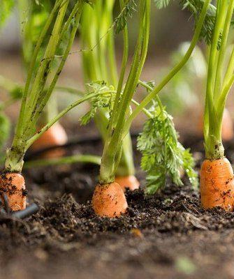Морковь сохнет