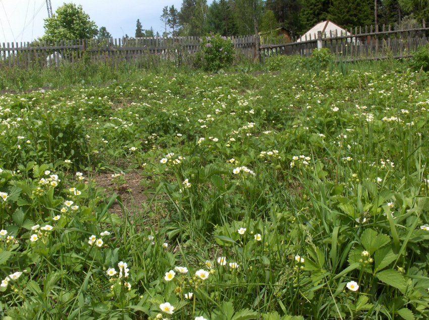 Про клубнику или садовую землянику
