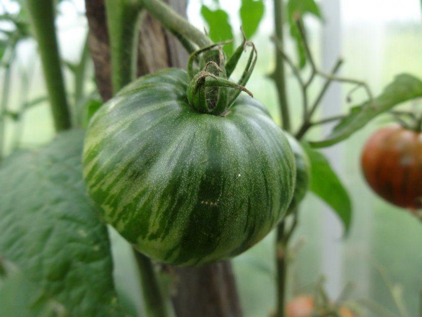 Необычные томаты – сорт Полосатый шоколад