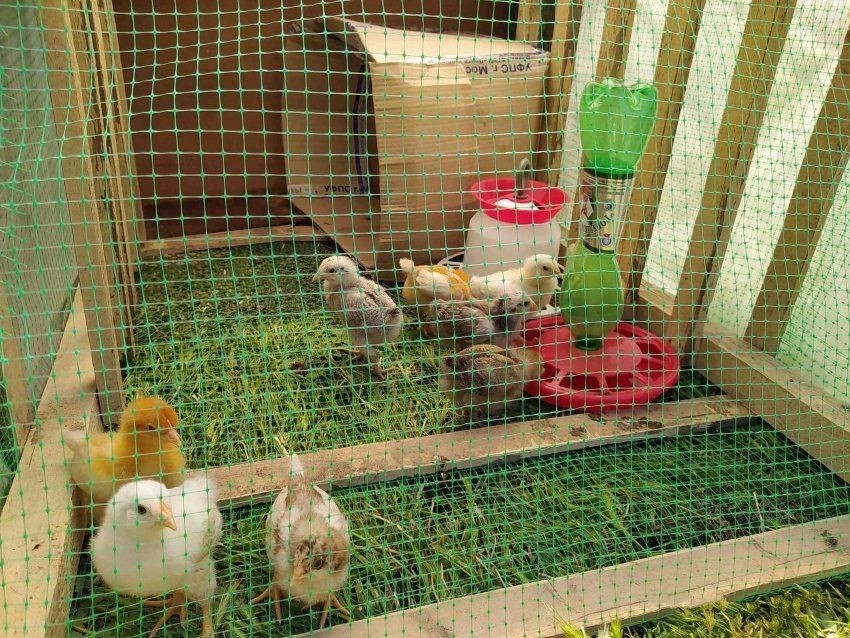 Выгул для цыплят