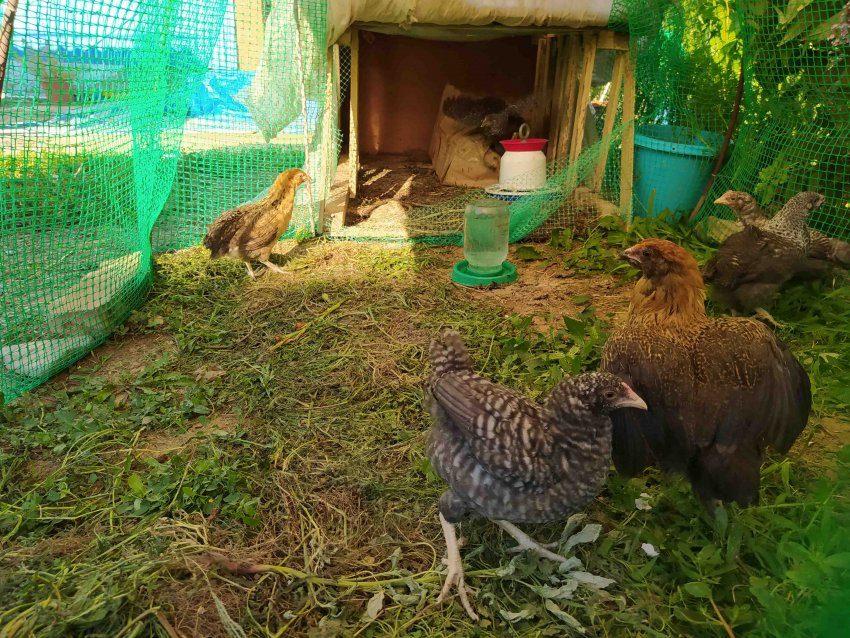 Подросшие цыплята в вольере