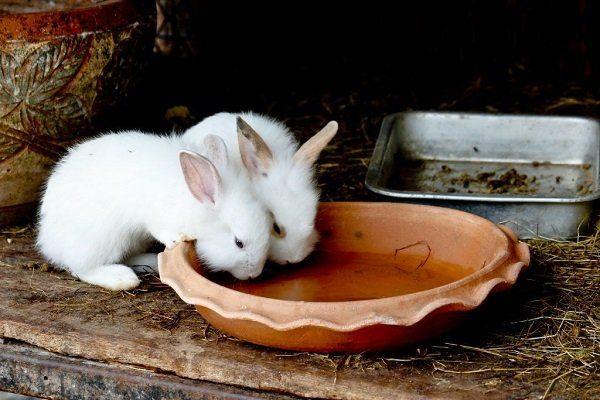 Кролики пьют воду
