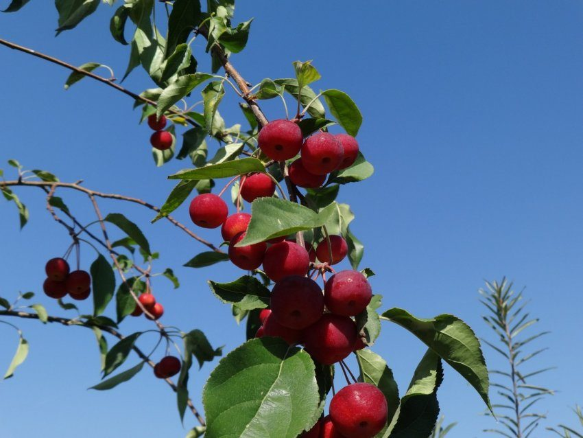 Яблочный сезон в Красноярске