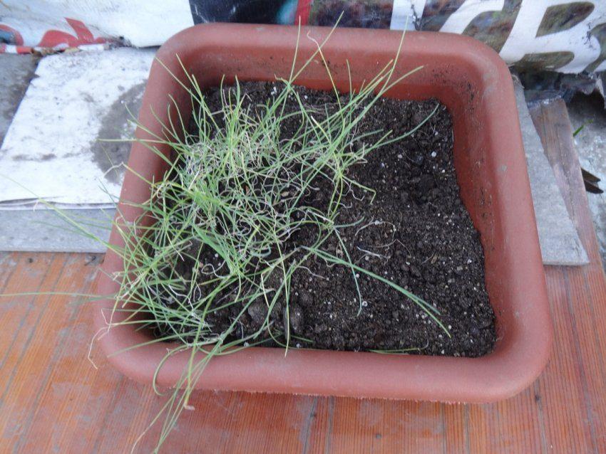 Лук порей - мой первый опыт выращивания жемчужного лука