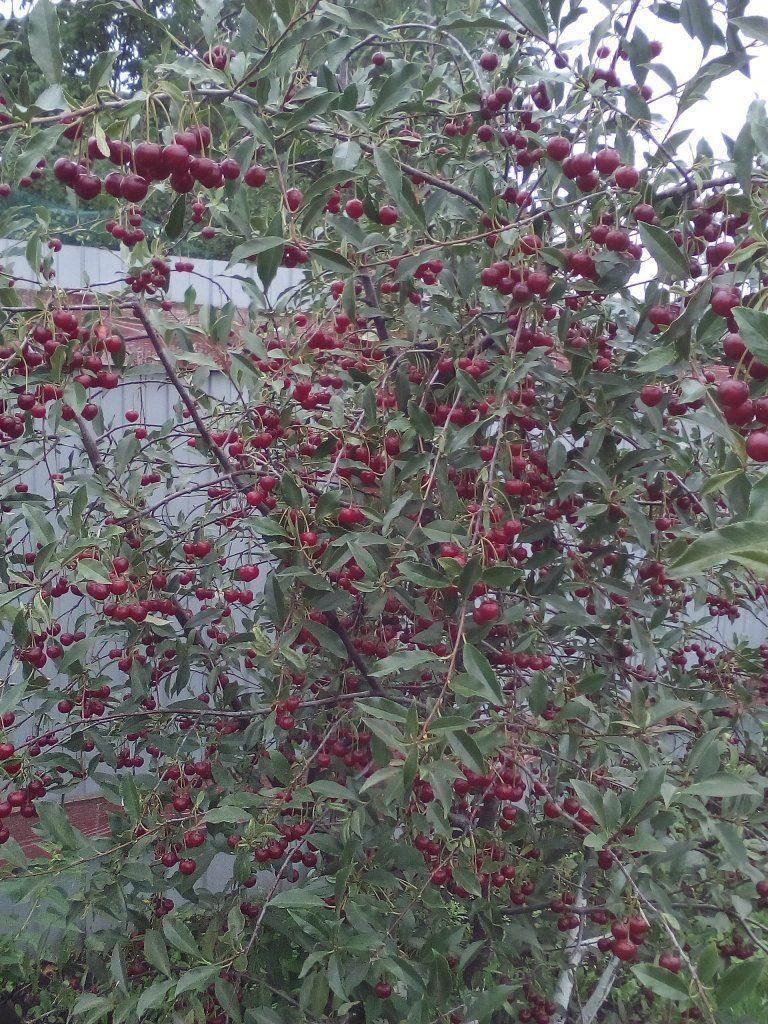 Как называется сорт вишни?