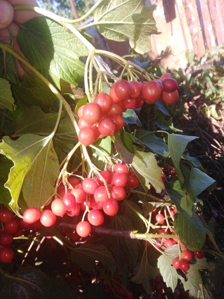 Запасаем витамины на зиму со своего участка