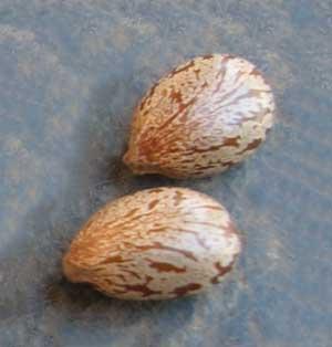 Семя клещевины