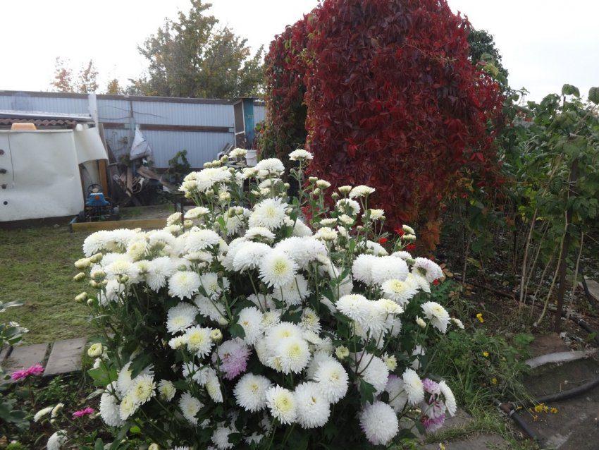 Хризантемы в моём саду