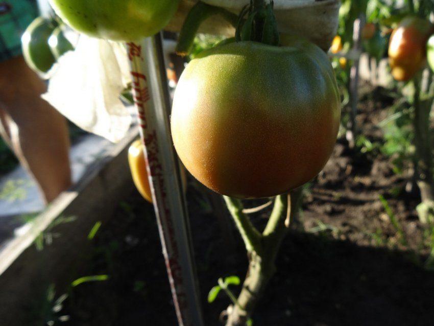 Редкий сорт томата родом из Калифорнии - Медная река (Copper river)