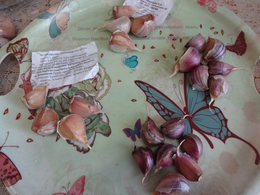 Посадка озимого чеснока - два новых сорта, которые сажу впервые