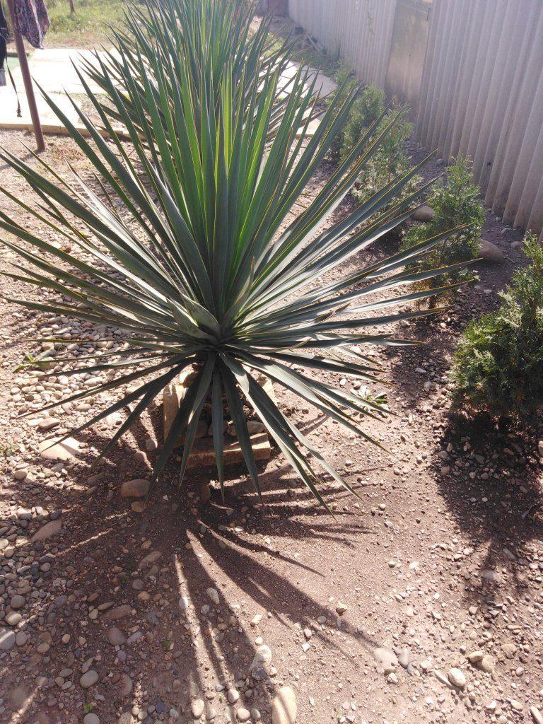 Растение с характером: чем хороша и полезна юкка