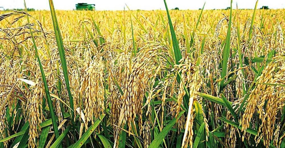 урожай риса